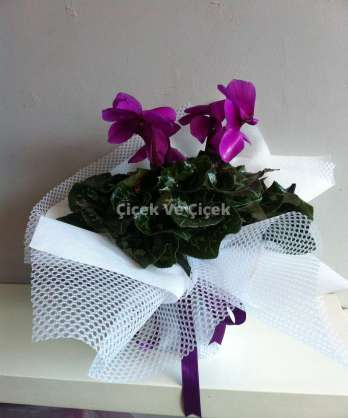 Cyclamen (Siklamen Çiçeği)