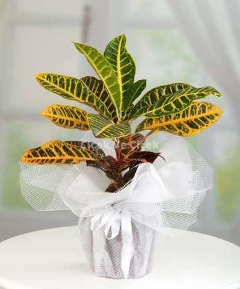 Kraton Saksi Çİçeği