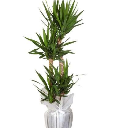Üçlü Yucca Saksı Çiçeği