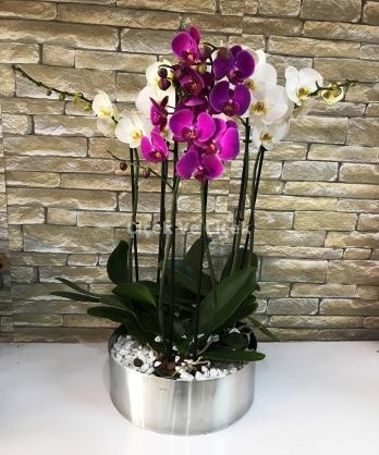 6 Dal Orkide Arnjmanı